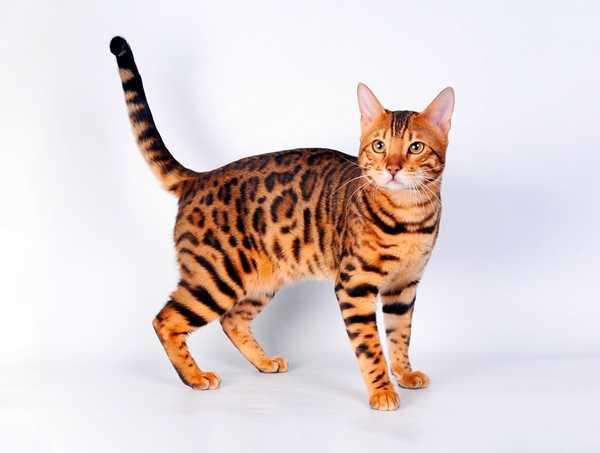 Как назвать котенка мальчика бенгальского