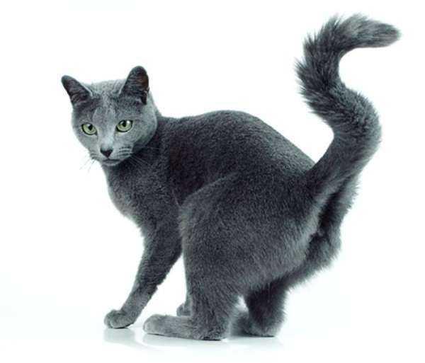 Кот метит в доме (квартире): как отучить, что делать, если кастрированный кот ставит метки, как избавиться от запаха
