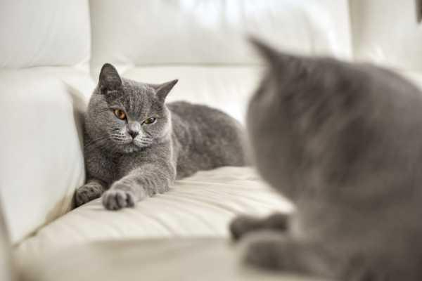 Сколько длится беременность у кошек британской породы этапы точные цифры и дни