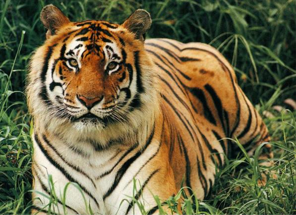 Бенгальские тигры сели на вынужденную диету