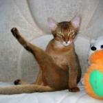 Кот писает на стены — что делать и как отучить его от пагубной привычки