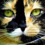 Черепаховые кошки — торти