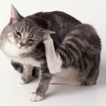 Как вылечить ушных клещей (отодектоз) у вашей кошки