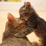 Почему, как и чем мурчит ваша кошка — все секреты кошачьего урчания