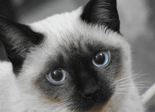Фото — сиамская кошка