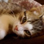 Чумка у кошек — причины, симптомы и лечение