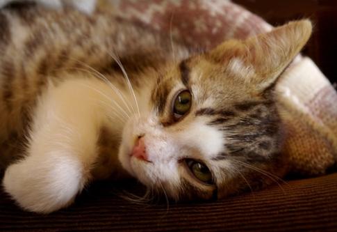 Чумка у кошек симптомы лечение водкой в домашних условиях