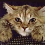 Лечение кошачьих паразитов — глистов