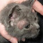 микроспория у кошек