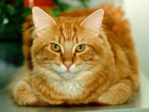 С чего начать лечение отита у кошек?