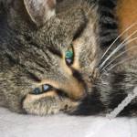 Токсоплазмоз у кошек — симптомы и лечение