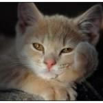 Стригущий лишай у кошек — признаки и лечение