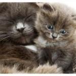 Признаки и сроки беременности у кошек