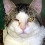 Лечение аллергического и инфекционного коньюктивита у кошки