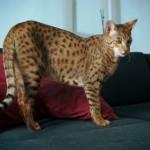 Породы самых больших кошек — мейн-кун, саванна и другие