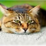 Правильное и своевременное лечение мочекаменной болезни у кошек