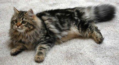 Siberian_cat_5