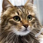 Особенности характера и поведения сибирских кошек
