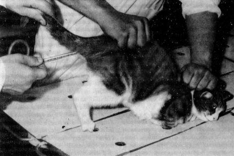 измерение температуры у кошек