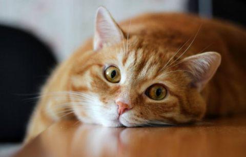 Кот после кастрации мяукает