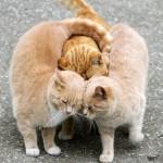 Кастрировать ли кота — все за и против, поведенческие и медицинские последствия