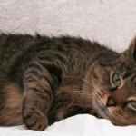Лечение, симптомы и причины мастопатии у кошек, профилактика заболевания
