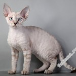 Страдаете от аллергии? Заведите кошку гипоаллергенной породы