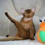 Кастрация взрослого кота — когда можно и нужно ли? Уход после операции и поведение