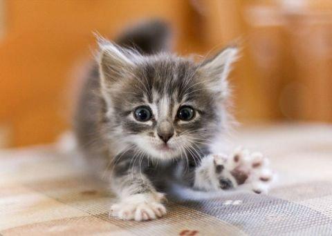Котенок уже начинает есть сам — как и чем его кормить