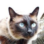 Характер тайской кошки и особенности поведения