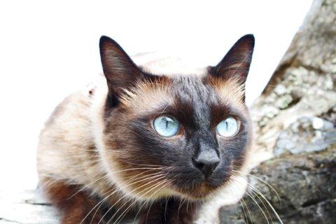 Тайский коты характер