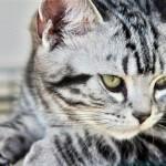 Все об американской короткошерстной кошке — история породы, характер и поведение