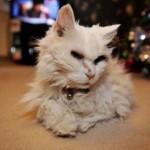 Топ-3 самых старых кошек в мире — Блэки, Крим Пафф и Люси