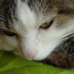 Почему у кошки могут слезится глаза и как это лечить