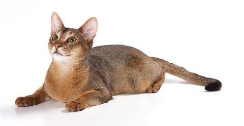 Абиссинская кошка — характер и особенности породы лучшего друга из кошачьих