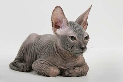 Характер и особенности содержания бесшерстной кошки сфинкса