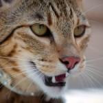 Леопард у вас дома, или кошка Ашера — история породы и характер