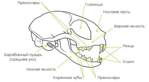 Сколько всего зубов у взрослой кошки — факты