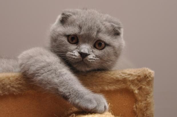 Вислоухий шотландец характер кота