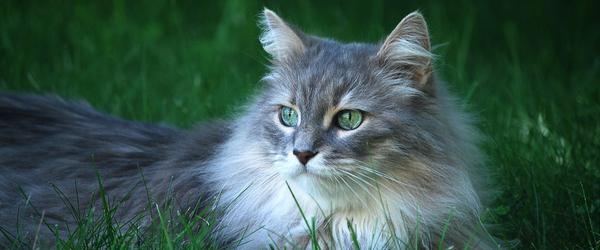 Как ухаживать за пушистыми кошками?