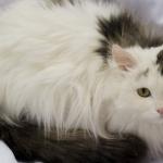 Как ухаживать за пушистыми кошками