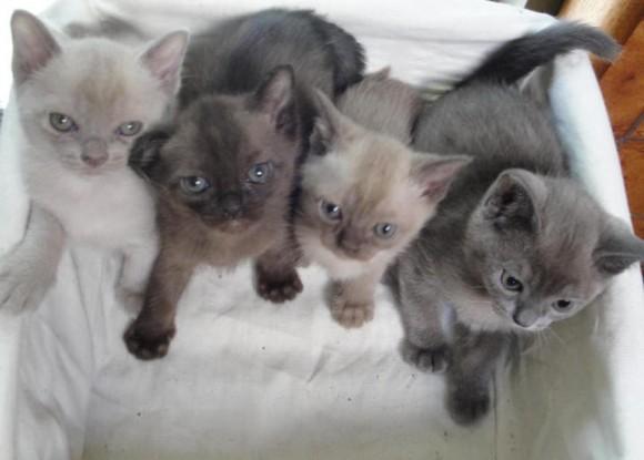 бурманские котята цена
