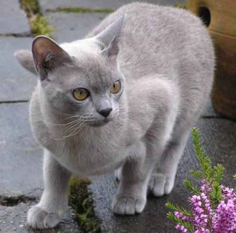 бурманская кошка фотографии