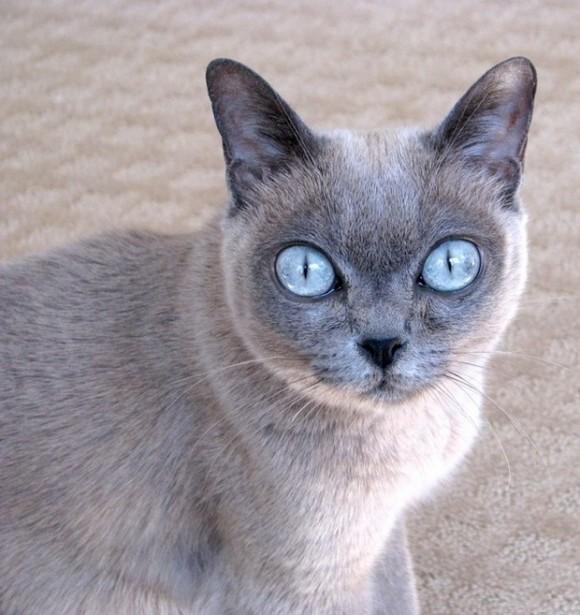 котенок породы бурма