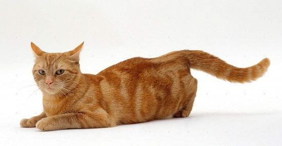 Что такое течка у кошек