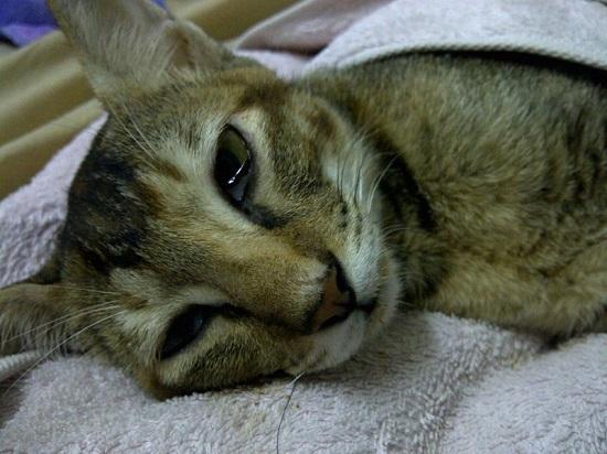 Чумки у кошек