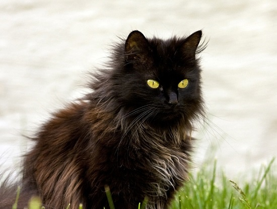 Шантильи Тиффани кошка