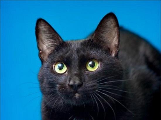 Шоколадная Йоркская кошка
