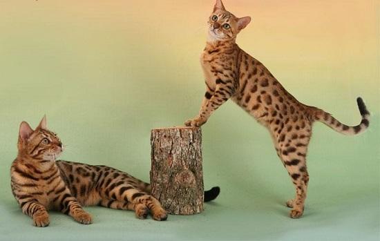 Элитные породы кошек