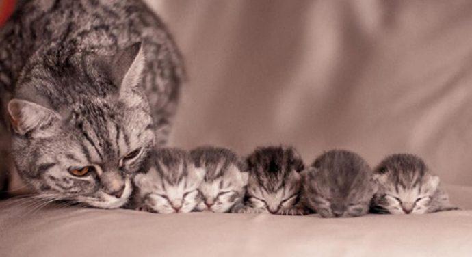 Кошачья беременность